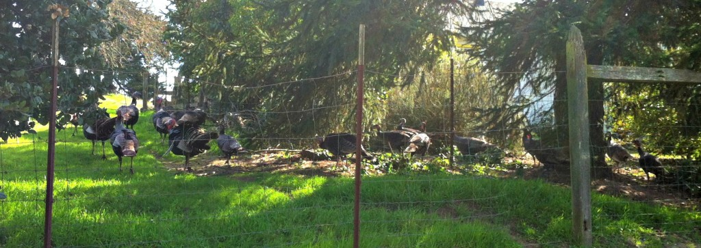 The Wild Turkeys of Petaluma.